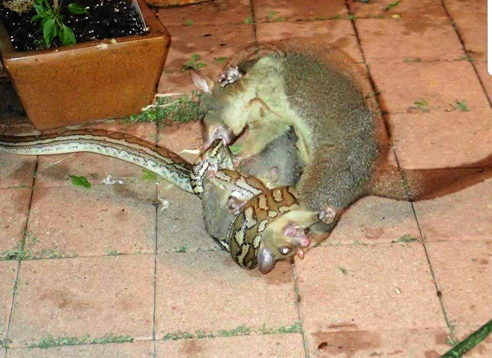 The deathmatch between a snake, a young possum and its mother on a Sunshine Coast property.