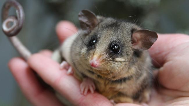 Mountain pygmy possums and scores of other animals could be in trouble as Department of Environment funding is cut. Picture: Zoos Victoria