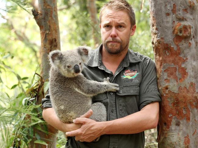 Australian Reptile Park manager Tim Faulkner with a koala. Central Coast koala population is near extinction. Picture: Mark Scott