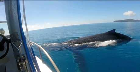 Two humpback whales surfacing metres from a boat in waters off Mackay.