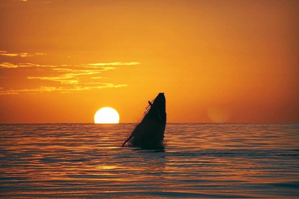A humpback whale breaches off the coast of Mackay.