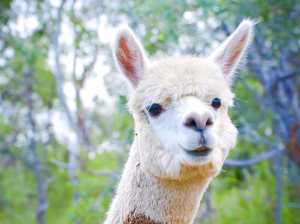 SHOT DEAD: Six pet alpacas slaughtered with firearm