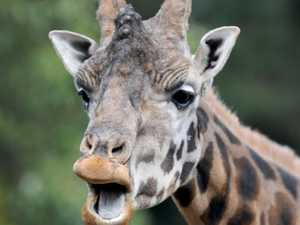 'It came out of nowhere': Wild giraffe kills director
