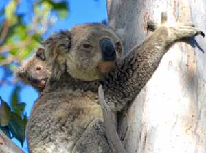 Bingo! Fundraising help is at hand for for koalas