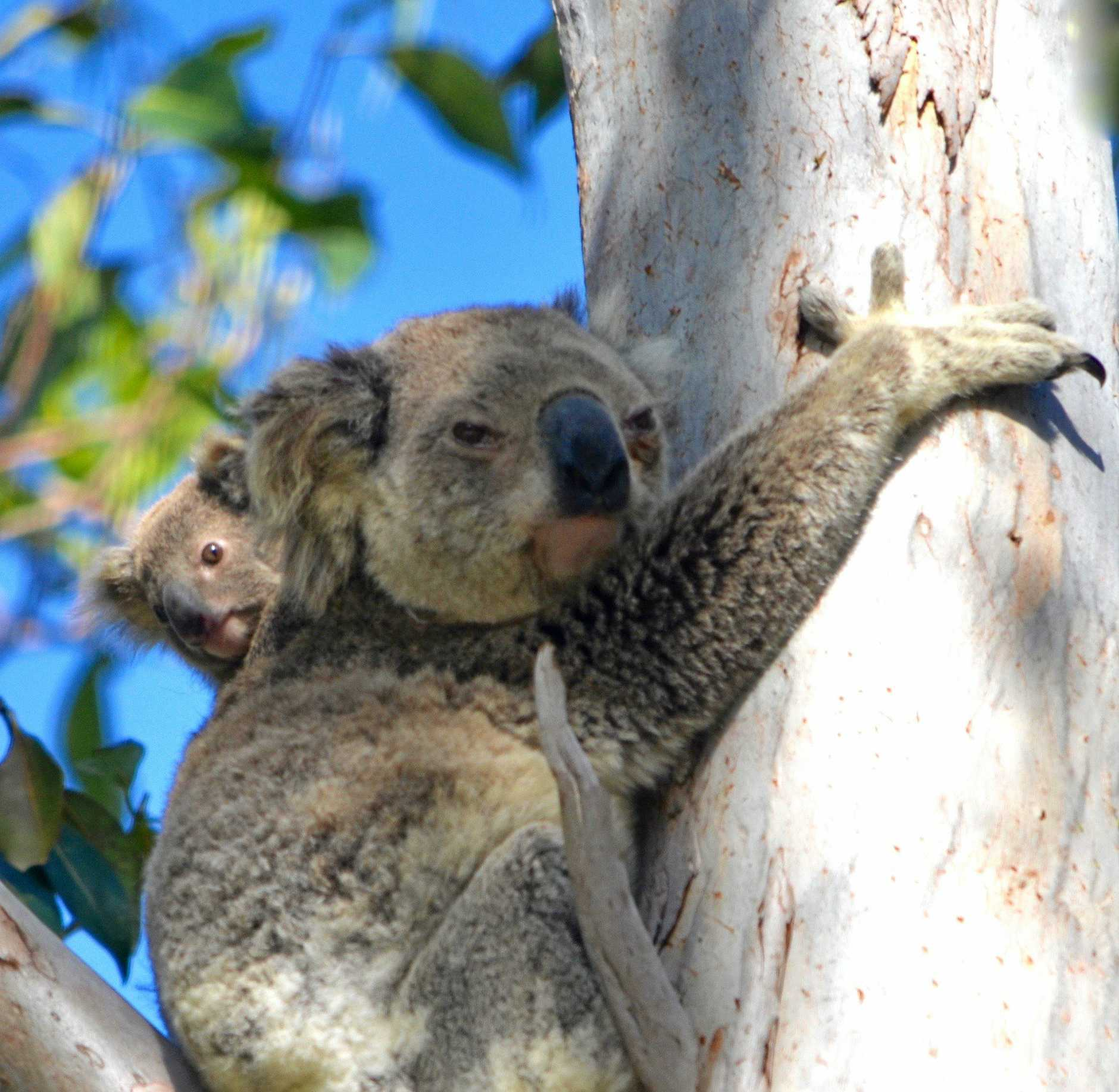 NUMBERS GAME: A humble game of bingo will help Queensland Koala Crusaders protect and rescue local koalas.