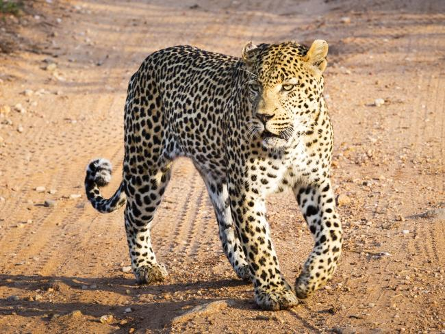 A toddler has died following a leopard attack in Uganda.  Picture:  Supplied