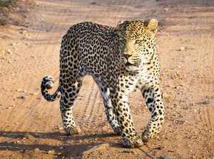 Toddler eaten by leopard at safari park
