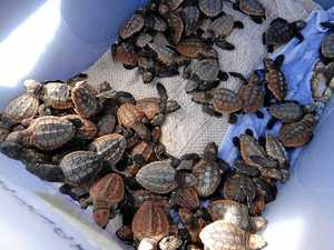 65 rare baby turtles saved from sad fate