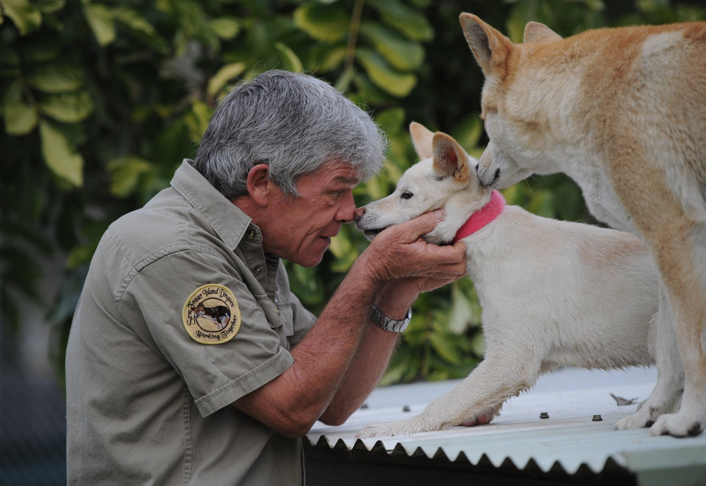 Spirit, the rare white dingo at Fraser Coast Wildlife Sanctuary is now 16 weeks old. She has bewitched Ray Revill body mind and soul. Sister, Kora is never far away. Photo: Robyne Cuerel / Fraser Coast Chronicle
