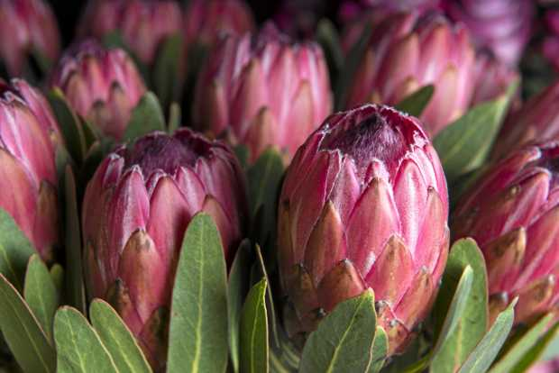 Proteas are drought tolerant once established.