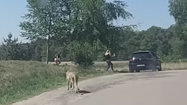 A family with young children ran for their lives after being chased by a group of cheetahs when they get out of their car at a safari park. Picture: Youtube