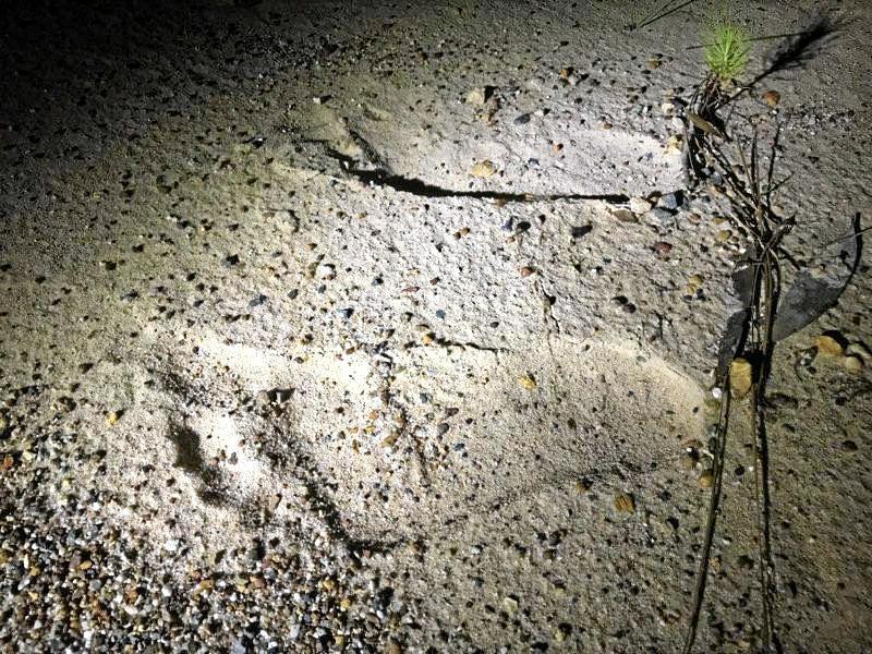 Child's footprint or juvenile yowie?