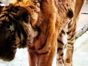Keeper mauled to death by tiger at 'cruel' China park