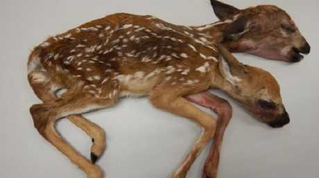 The conjoined fawns discovered in a Minnesota forest in 2016 is the first recorded case of a conjoined white-tailed deer brought to full-term and born, according to a recently published study. Picture: Minnesota DNR