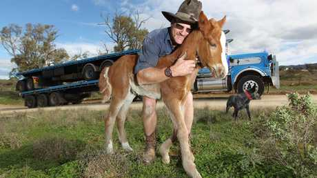 Truckie Scott Pyman,42, of Quorn escued Nutmeg the foal from a pack of dingos at Nutmeg Well, 100km west of Moomba.