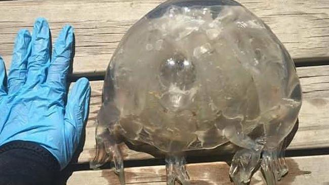 Reports of jellyfish stings are significantly lower than last year.