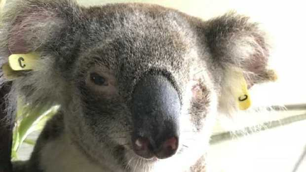 Sheree the one-eyes koala was released back into bushland at Peak Crossing on Friday.
