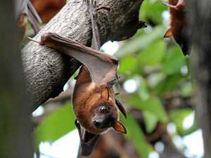 Flying foxes frustrate residents