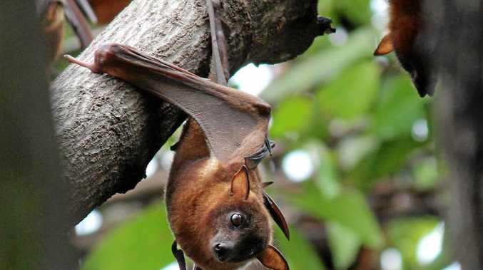 Little red flying foxes have flocked to the area following the recent flowering of several eucalyptus species.