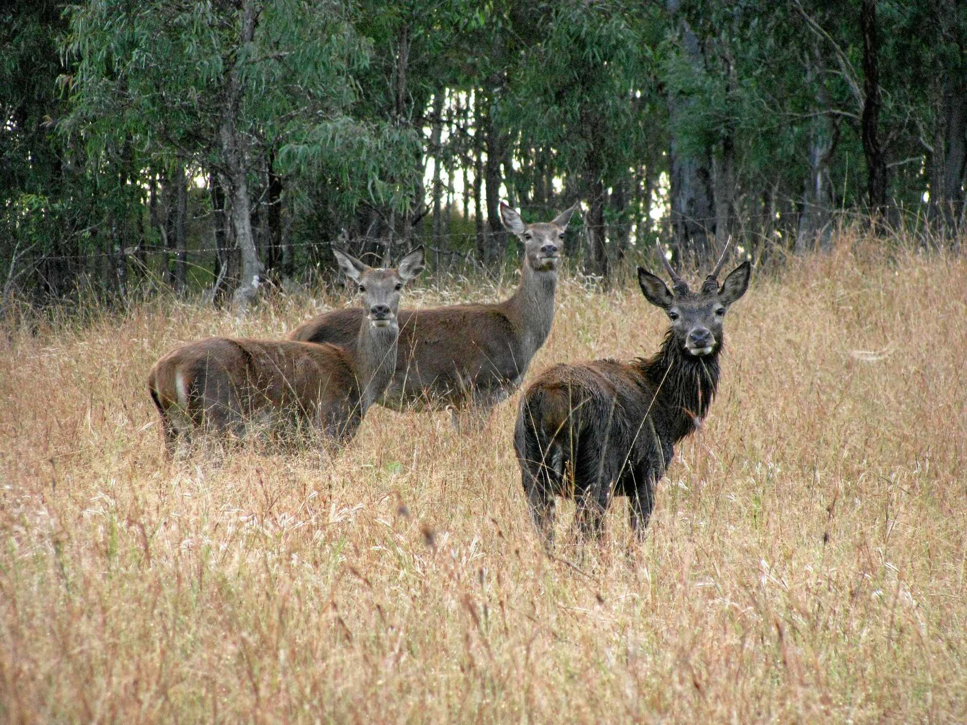 WILD DEER: Once a rare sight, Sam Ricca said the wild deer had proliferated and were destroying crops in the Ballandean region.