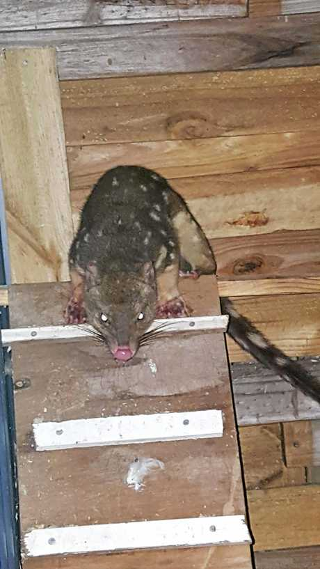 Spotted-tailed Quoll found in the chook shed owned by Leona Spinks. All her chickens were dead.