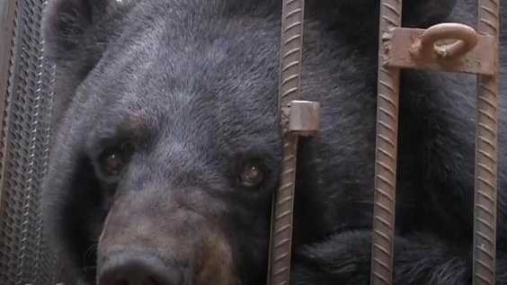 Asiatic Black Bear raised as a pet dog (CGTN)