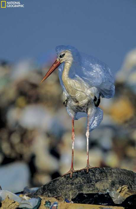 A stork engulfed by a plastic bag at a landfill in Spain. Picture: John Cancalosi