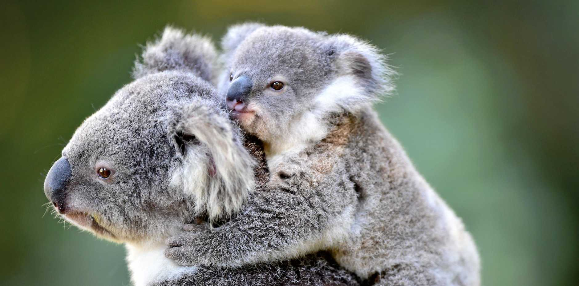 The koala population has reduced by around 26% in the last 20 years. The NSW Government has released the unprecedented Koala Strategy in a bid to save the vulnerable species.