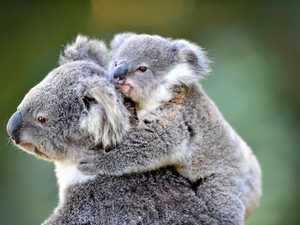 Is it enough to save our dying koalas?