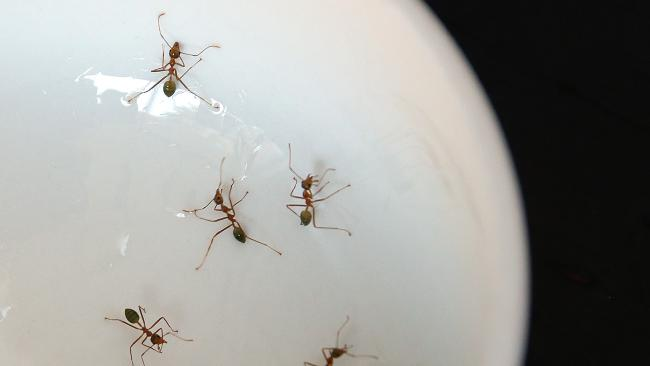 Ants are invading kitchens to find water sources because they're thirsty.
