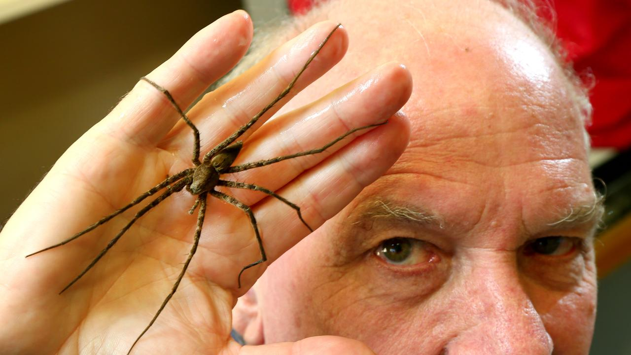Queensland Museum's Dr Robert Raven pictured with a newly discovered spider species they have called Queensland Giant Water Spider (Megadolomedes Trux) Picture AAP/David Clark