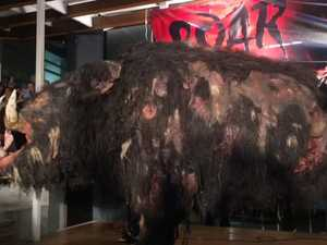 Boar unveiled at premiere