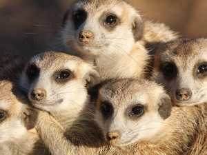 Outrage as boy kills meerkat at zoo