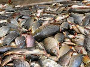 A load of carp? Virus to kill pest has community divided