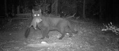 Feral cats pose a serious threat to native wildlife and are common across the Sunshine Coast.
