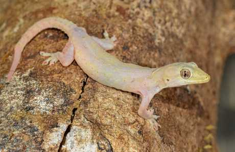 The Asian house gecko is likely the most common home invader on the Sunshine Coast.