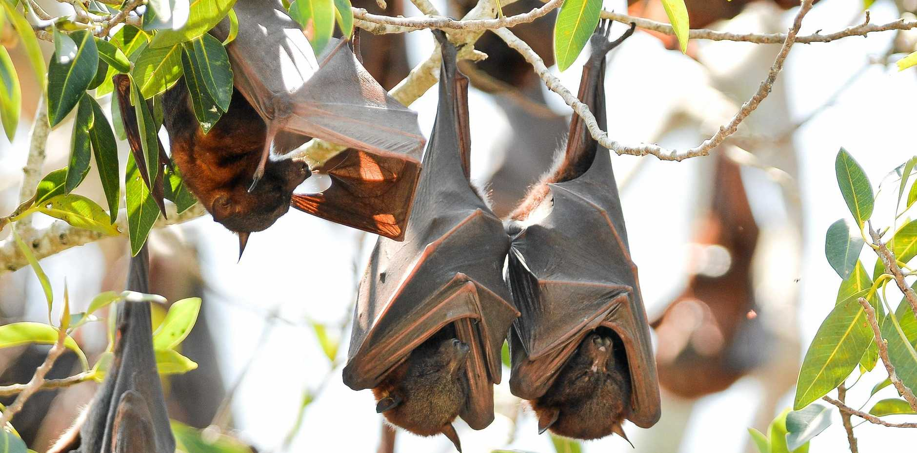 HANGING AROUND: The Ipswich City Council will review its flying-fox management plan to minimise the effect of the bats on residents in Yamanto and Bundamba.