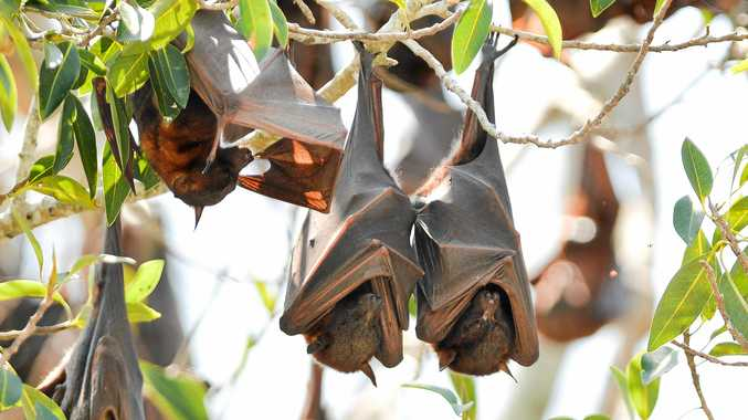 Council puts flying-fox colonies in its crosshairs