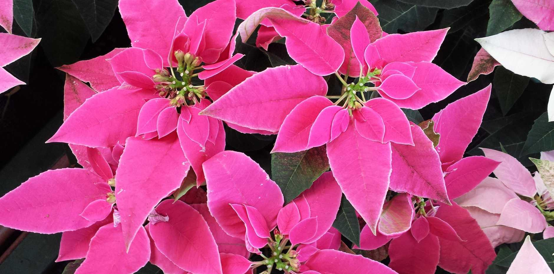 Poinsettias grow best in full sun to part shade, and make a great indoor plant through winter.