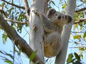 Koalas drop into today's council meeting