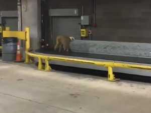 Chaos as monkey runs amok in airport