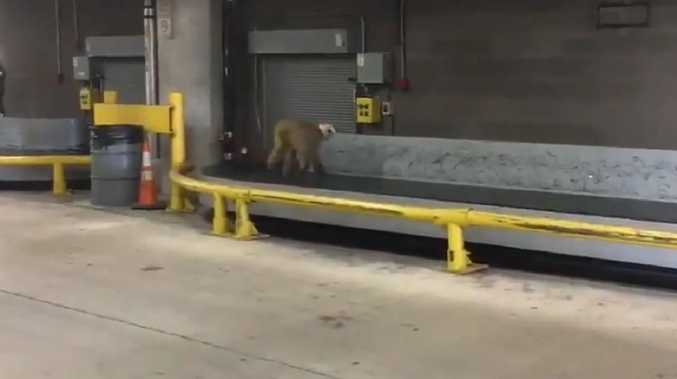 Monkey on the loose, briefly, at Texas airport