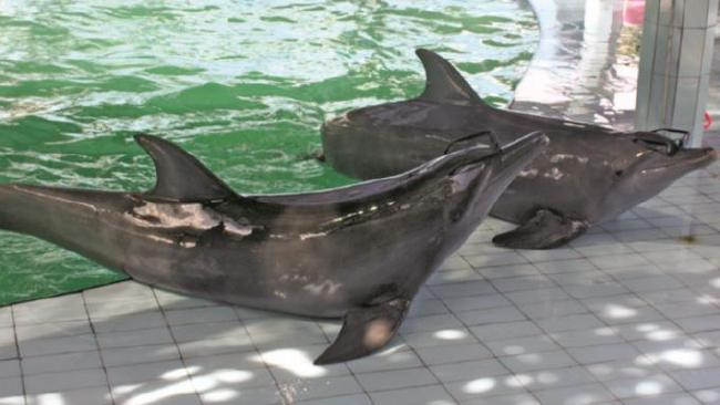 Dolphins are made to 'beach' themselves as part of a show at one Bali venue. Being completely removed from the water puts stress on internal organs. Picture: World Animal Protection