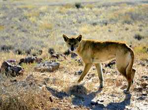 Driver shocked as dingo bolts across road in Bundy