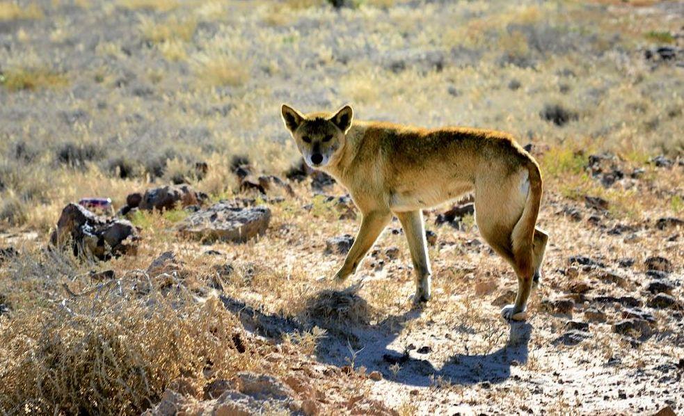 SPOTTED: Dingo sighting in Bundaberg.