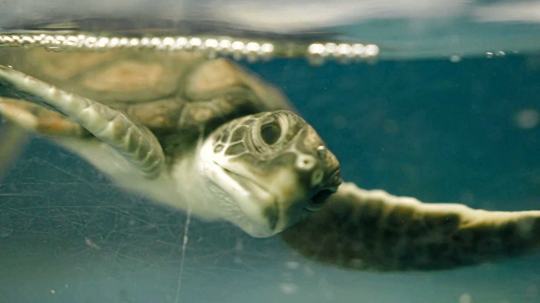 SEALIFE Maroochydore released a rehabilitated juvenile green sea turtle, named Col, back into the wild ahead of World Turtle Day, May 25. Col is the 1000th turtle released by the organisation since 1989.