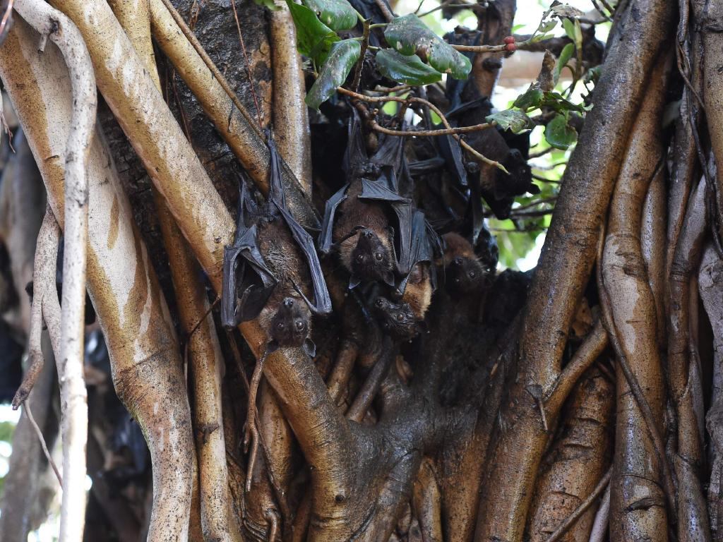 Indian bats cling onto the branches of a banyan tree. A virus mainly carried by fruit bats which has spread across Asian nations has killed at least 10people in southern India causing panic in the locality.  Picture: AFP
