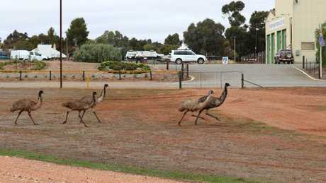 Peterborough locals said they'd never seen emus in such numbers in the township. Picture: Tait Schmaal