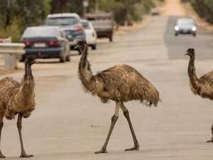 Emu invasion rocks Peterborough