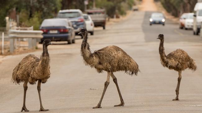 Emus on a main street in Peterborough. Picture: Bernard Humphreys